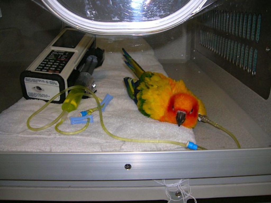 conure-sun-ICU-cage-fluids